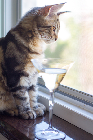 A picture of a Maine Coon kitten sitting on a window sill near a champagne glass.