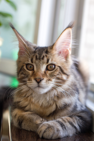 A picture of a Maine Coon kitten sitting on a window-sill near an open window. Imagens
