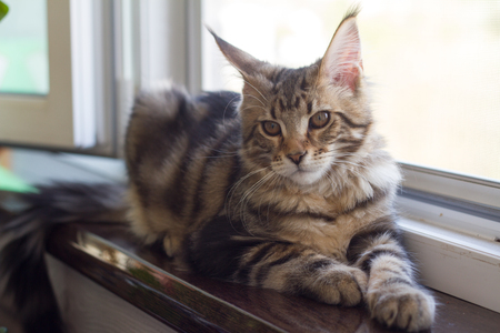 A picture of a Maine Coon kitten sitting on a window-sill near an open window. 版權商用圖片