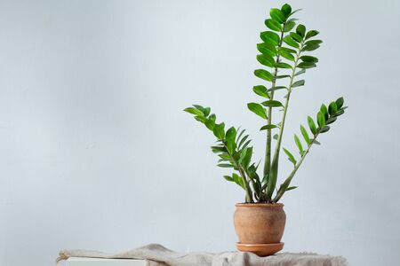 Green flower houseplant zamiokulkas or dollar tree growing in clay brown pot standing on natural fabric isolated on white background, copyspace Stockfoto
