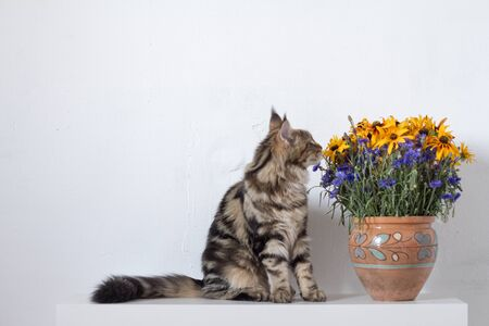 Maine Coon kitten sitting on a white console next to a vase with orange and blue flowers against a white wall, copyspace Stock Photo