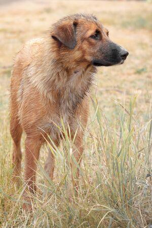 Portrait d'un gros chien sans-abri solitaire se dresse dans les hautes herbes fanées et regarde au loin.
