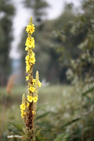 Closeup of the great mullein or common mullein flowers, verbascum thapsus in blossom, selective focus