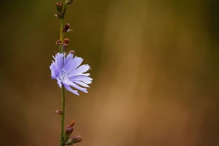 Close-up of blue Chicory wild flowers on a blurred background of a summer meadow, selective focus Archivio Fotografico