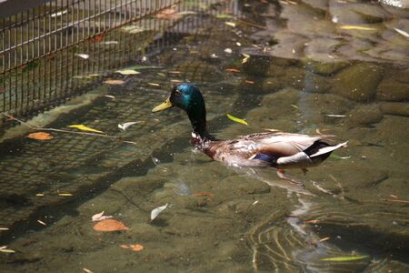Closeup of a multi-colored male duck, a drake swims and dives in the creek among the fallen leaves, selective focus