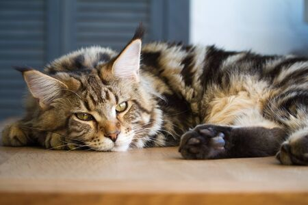 Closeup of a big sleepy half-year-old Maine Coon kitten lying on a table in the minimalist interior of the kitchen, selective focus