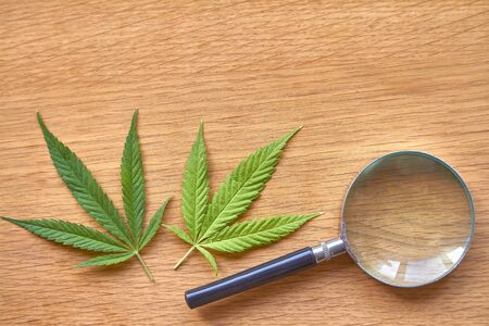 Closeup magnifying glass lies on a light wooden surface next to two sheets of marijuana, selective focus 版權商用圖片