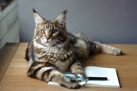 Closeup portrait of Maine Coon cat lies on a wooden table on an open notebook and a magnifying glass, selective focus, copy space 版權商用圖片