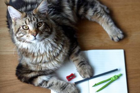 Closeup portrait of Maine Coon cat lies on a wooden table on an open notebook and blue pencil, selective focus, copyspace
