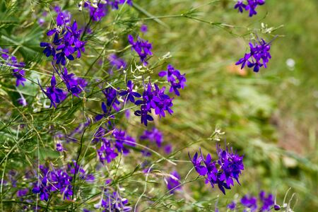 Closeup of purple wildflowers on a blurred background of grass meadow, selective focus