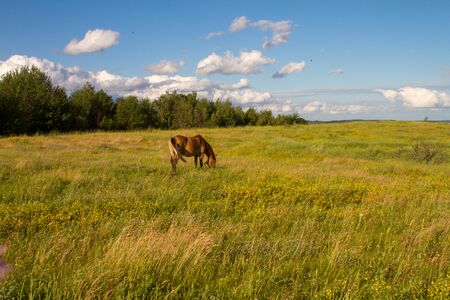 Brown horse grazes in a meadow and eats grass in the background of hills, fields and blue sky, copyspace