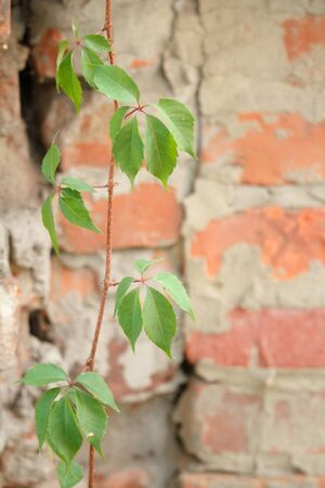 New green leaves of wild grapes on the backdrop of an old brick wall, selective focus