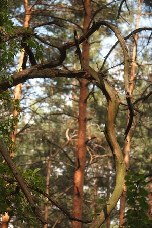 Old, dry, crumpled tree against a blurry forest background, selective focus Stock Photo