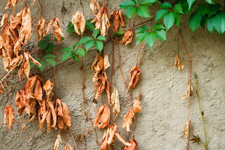 Old dried and new green leaves of wild grapes on the backdrop of an old cement wall, selective focus Stock Photo