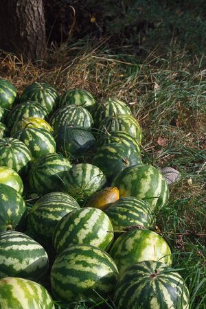 Lot of striped watermelons piled near the field where they grow for sale, selective focus