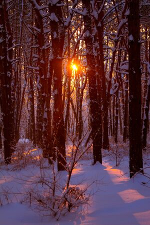 Sunset in a snowy forest and the rays of sun through the branches of trees, selective focus