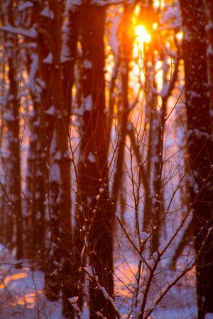 Close up of frozen drops on a tree branch, sunset in a snowy forest and the rays of the sun through the tree branches, selective focus Foto de archivo