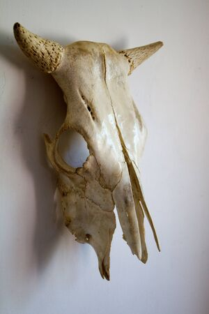 Skull of cow with horns on a white wall background, selective focus
