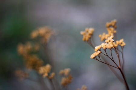 Close up of an autumn dried umbrella shaped wild flower on blurred forest background, selective focus