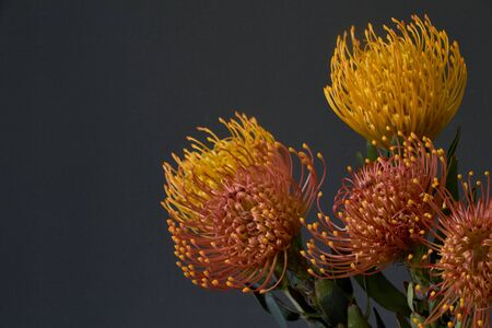 Close up of bouquet of yellow and orange exotic protea flowers on a dark background, selective focus