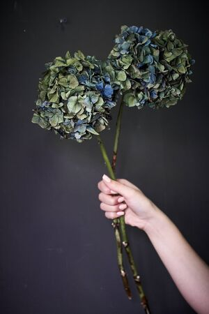 Close up of a female hand holding a dry hydrangea flower on a gray background, selective focus Reklamní fotografie