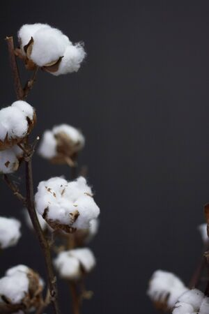 Close up branches of natural cotton in a glass vase on a dark background, Christmas or New Year concept