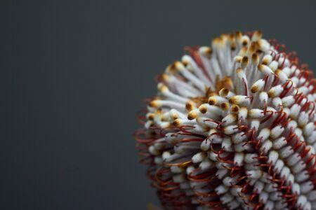 Close up of Banksia flower also know as Australian honeysuckle on dark background Imagens