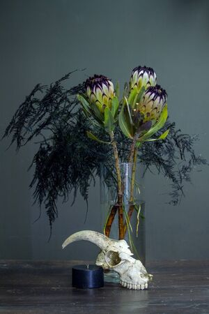 Still life with bouquet of protea, black candle and a goat skull on a dark background, selective focus Stock Photo