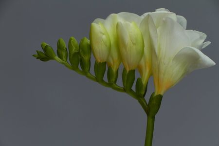 A branch of blooming white freesia isolate on light gray background, greeting card or concept