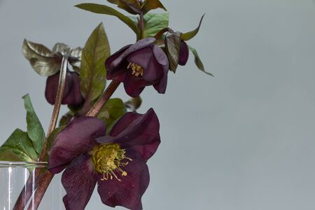 Close up of several colors of purple hellebore in a glass vase, selective focus