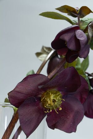 Close up of several colors of purple hellebore in a glass vase, selective focus Stock Photo