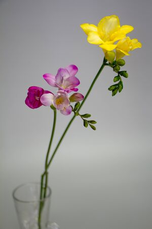 Two branches of blooming pink and yellow freesia isolate on light gray background, greeting card or concept