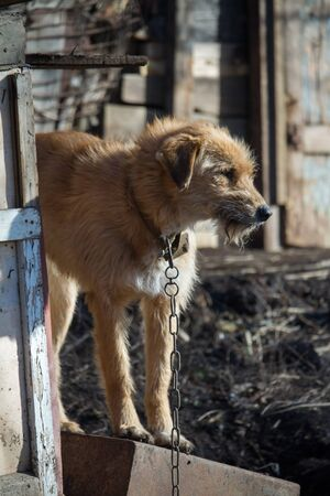 Chained up dog near wooden kennel, dog guards house in the countryside