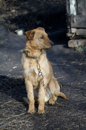 Chained up dog near wooden kennel, dog guards house in the countryside Zdjęcie Seryjne