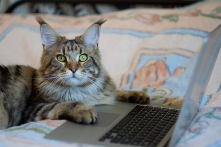 Concept stayhome and staysafe, maine coon cat lies on bed and works on laptop, selective focus