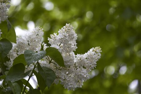 Close-up of blooming lilacs under rain against park or garden background, selective focus