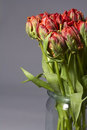 Bouquet of red tulips in a glass vase on a gray backdrop. Beautiful tulips flower for postcard beauty and design. Archivio Fotografico
