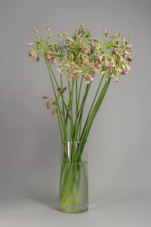 Chives or Allium schoenoprasum blooming flowers in glass vase on grey background, selective focus