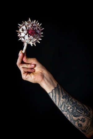 Male hand with dry artichoke flower on black backdrop, greeting card or concept
