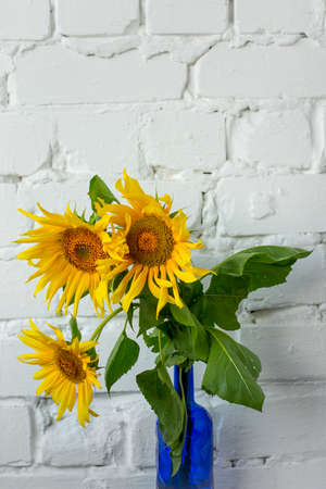 Bouquet of blooming sunflowers in blue glass vase white brick wall background, selective focus