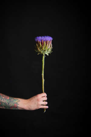 Male tattooed hand holding one purple artichoke flower on black background, greeting card or concept