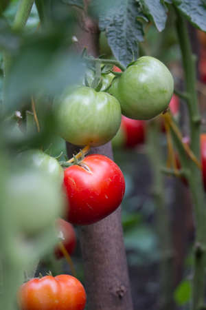 Home grown natural tomatoes growing on branch in greenhouse, copy space, selective focus