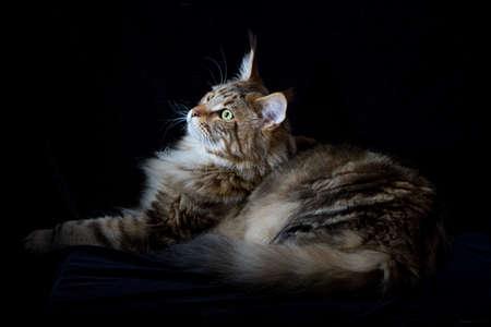 Maine coon cat on black backdrop, domestic cat portrait, selective focus Banque d'images