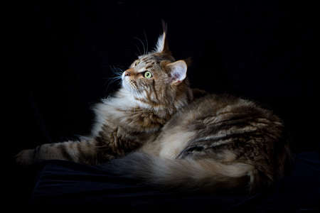 Maine coon cat on black backdrop, domestic cat portrait, selective focus