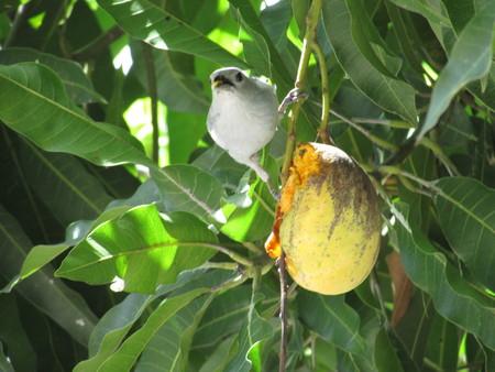 vigilant: Lonely Blue Bird is vigilant while Gives pecks on mango fruit