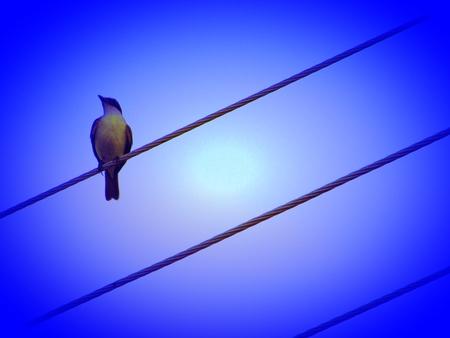 amazonian: Great Kiskadee bird, Amazonian, Brazil, Manaus city, rainforest. Stock Photo