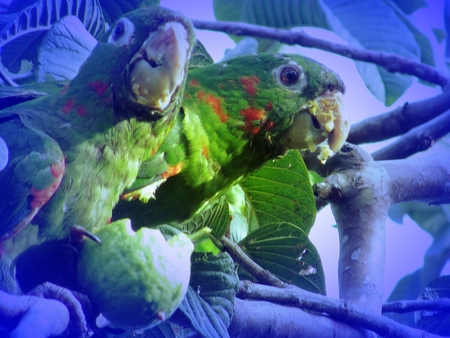 bird song: Couple of parrots is eating guava in guava tree Stock Photo