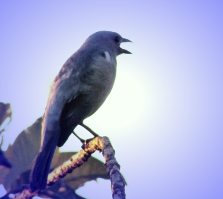 Bird from Amazonia, is perched on tree and it is singing Stock Photo