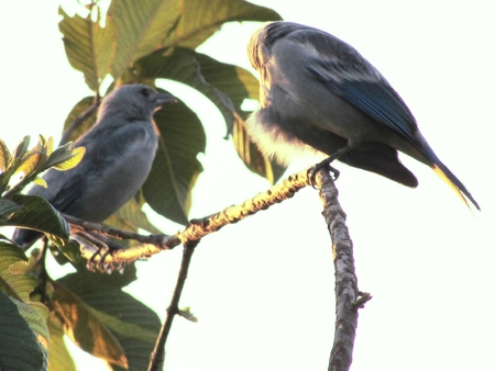 bird song: Couple of birds is perched on tree