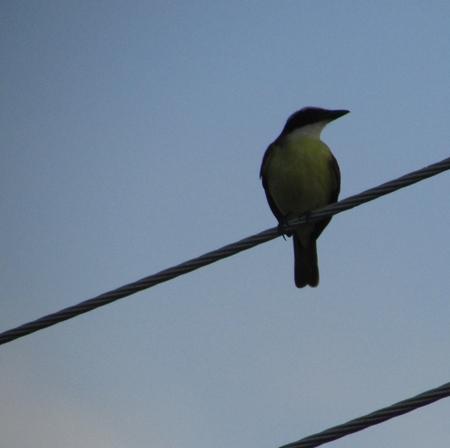 amazonian: Kiskadee, bird, Amazonian, Brazil, Manaus city, rainforest.